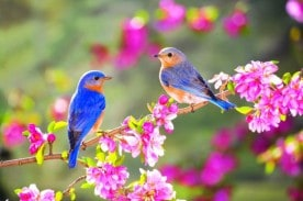 8794_Lovely-two-little-blue-birds-on-a-blossom-branch.jpg